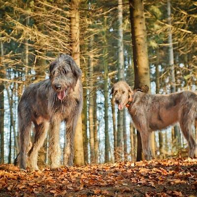 размер породы Ирландский волкодав