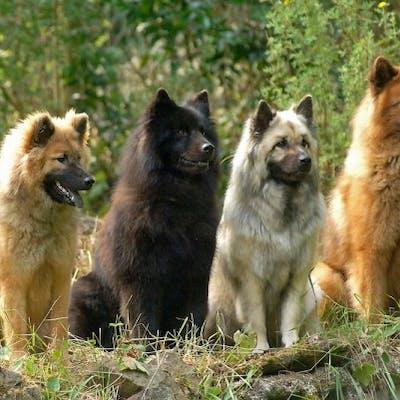 размер собаки Евразиер