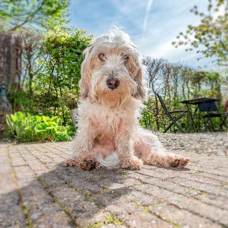 собака Малый вандейский бассет-гриффон