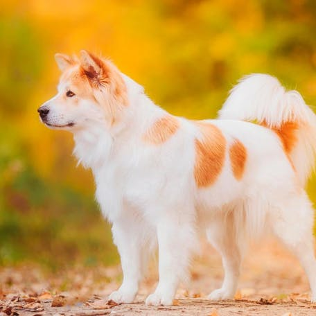 собака Тайский бангку