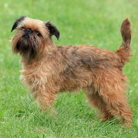 размер породы Малая бельгийская собака