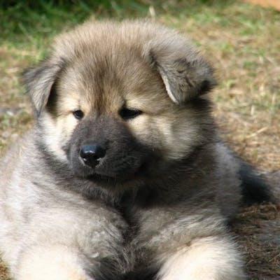 щенок собаки Евразиер