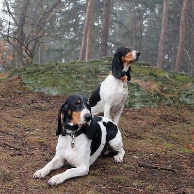 собаки Швейцарская гончая