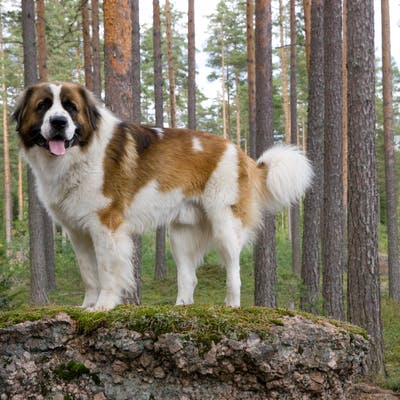 размер породы Московская сторожевая собака