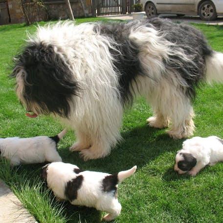 окрас породы Румынская миоритская овчарка