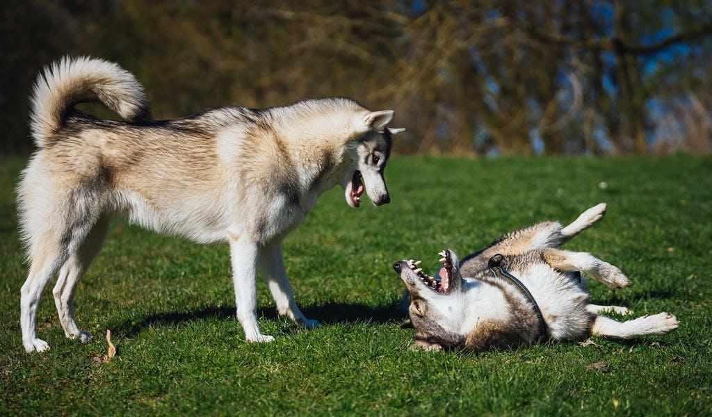 характер собаки западно-сибирской лайки