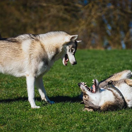 характер собаки западно-сибирская лайка