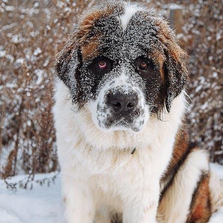 окрас породы Московская сторожевая собака