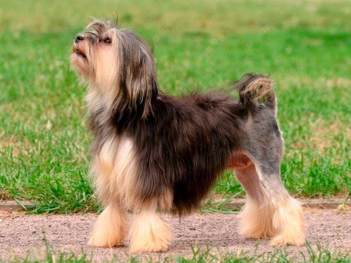 характер породы Малая львиная собака
