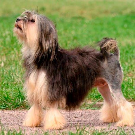 размер породы Малая львиная собака