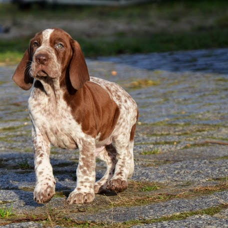 собака породы Итальянский бракк