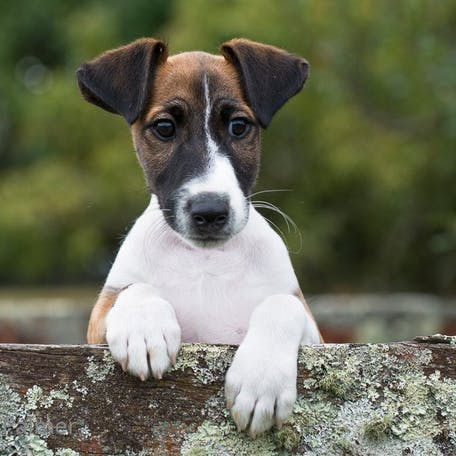 щенок собаки Фокстерьер