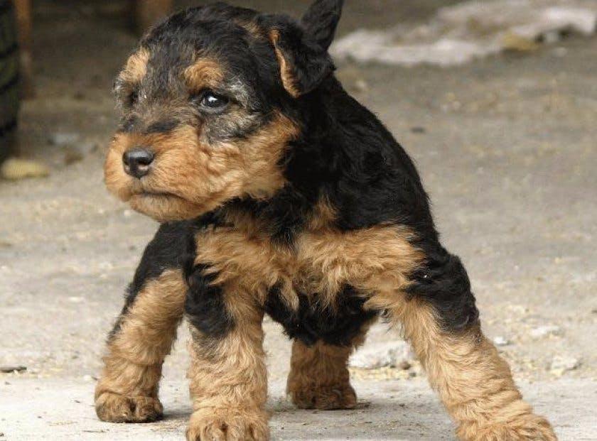 щенок собаки вельштерьера
