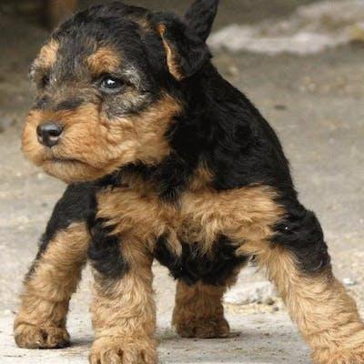 щенок собаки вельштерьер