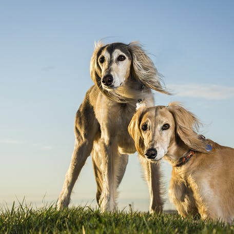 собаки породы Салюки