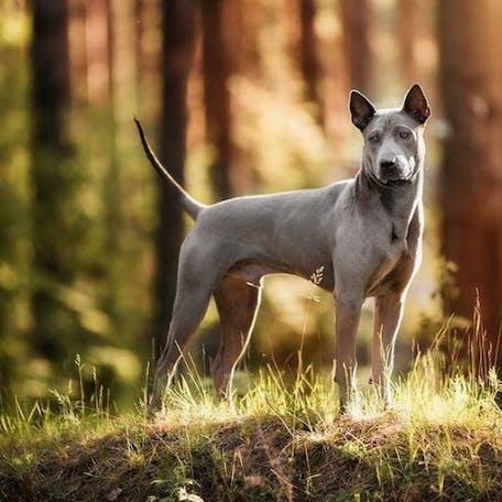 собака Тайский риджбек