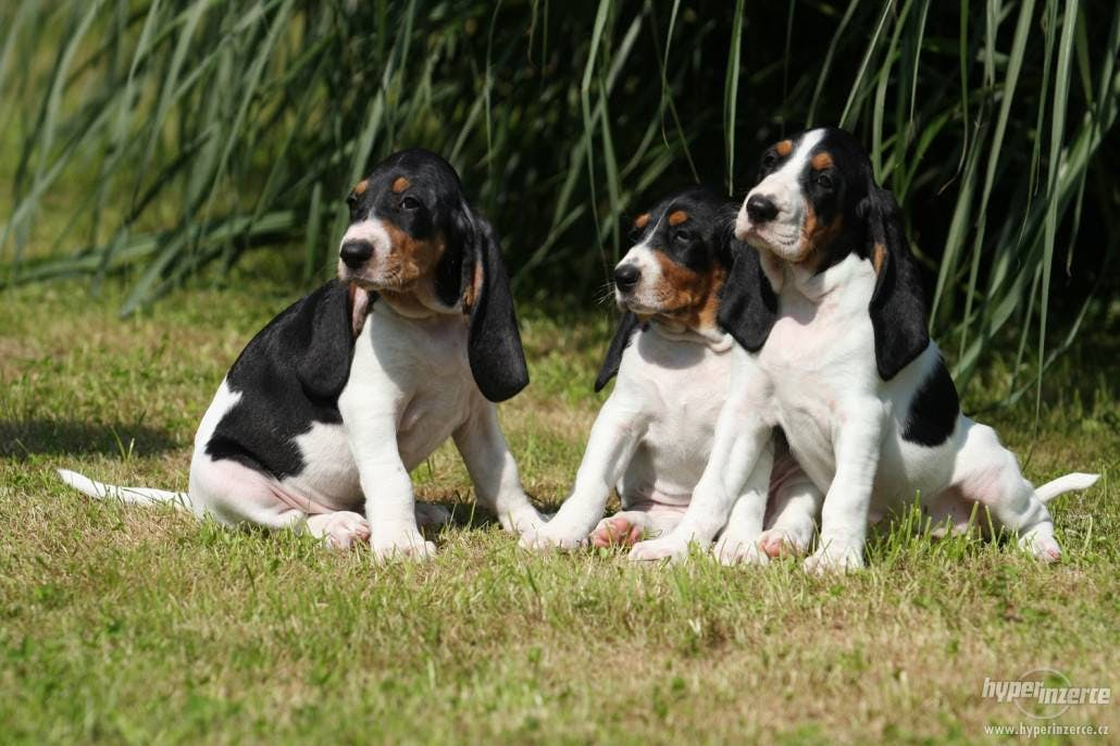 цена щенка малой швейцарской гончей