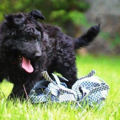 собака Хорватская овчарка