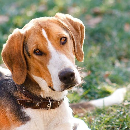 собака Русская пегая гончая
