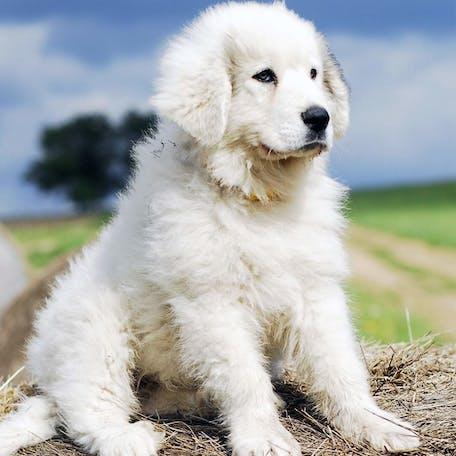 щенок породы Пиренейская горная собака