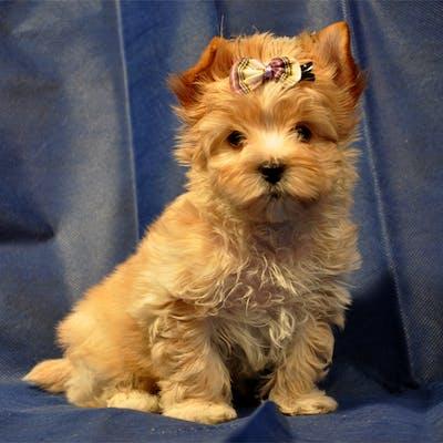 щенок породы Русская салонная собака