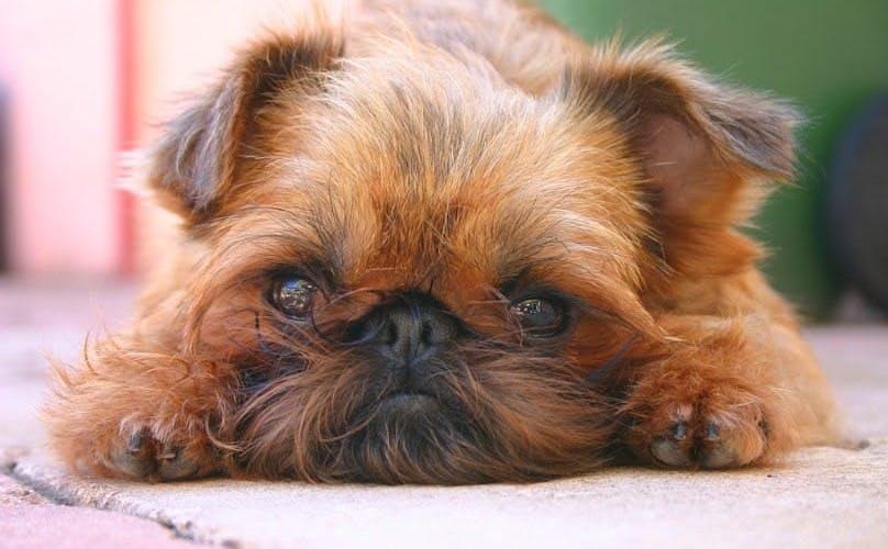 характер породы Малая бельгийская собака