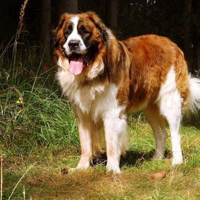 собака породы Московская сторожевая собака