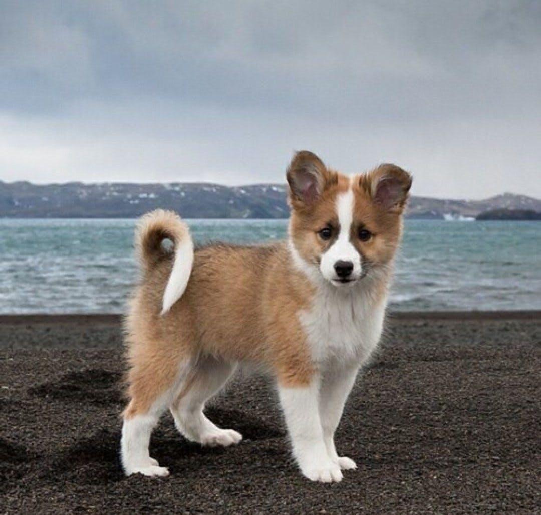 щенок породы Исландская собака