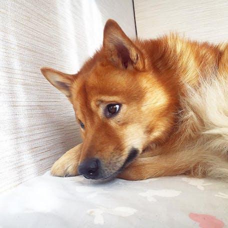 собака породы Финский шпиц