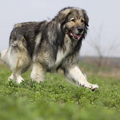 фото породы Румынская карпатская овчарка