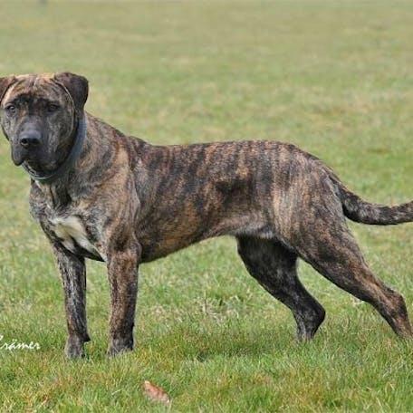собака породы Уругвайский симаррон
