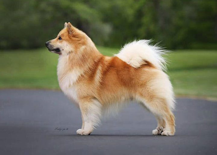 особенности породы Исландская собака