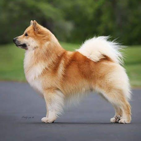 размер породы Исландская собака