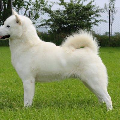 собака Хоккайдо