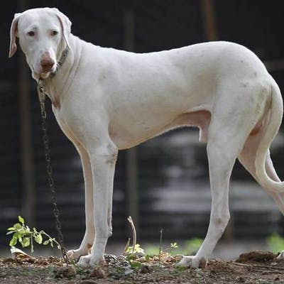 фото породы Раджапалайям