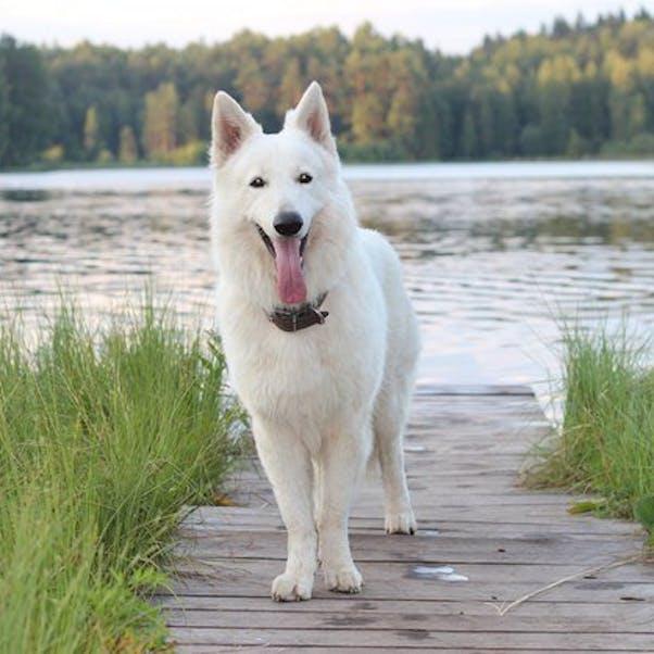 Шведский белый элкхунд