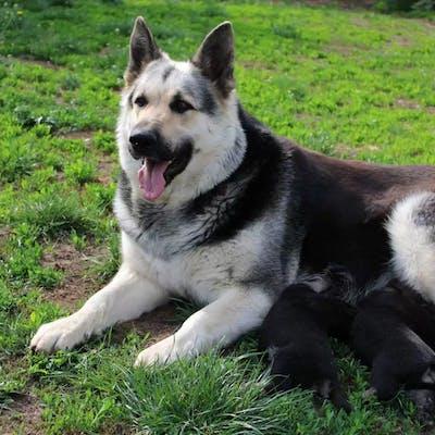 фото собаки восточноевропейской овчарки