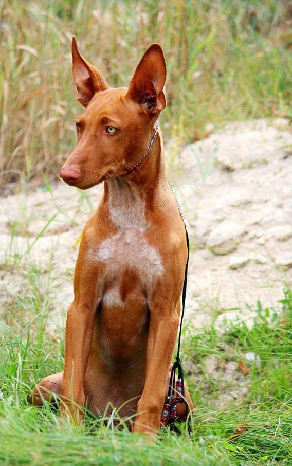 характер породы фараоновая собака