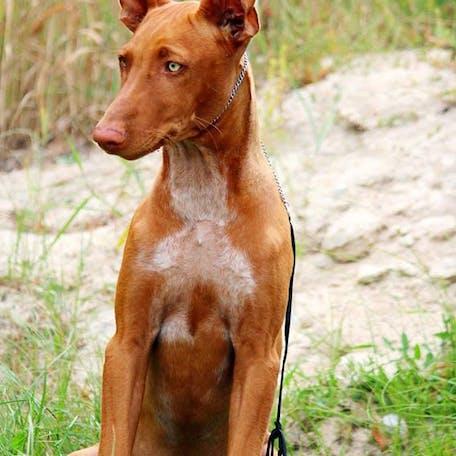 фото породы Фараоновая собака