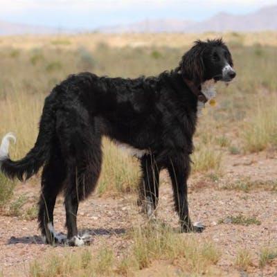 собака породы Тайган