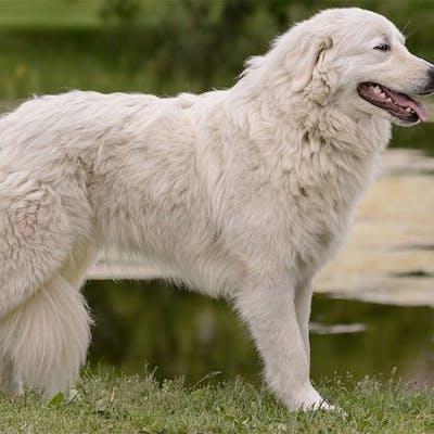 размер породы Мареммо-абруццкая овчарка