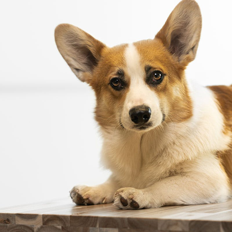 Office Dog Cody - Cuddle Management
