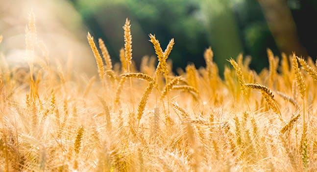 La differenza tra grano tenero e grano duro