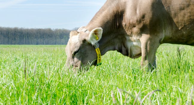 Mucca al pascolo - Parmigiano Reggiano