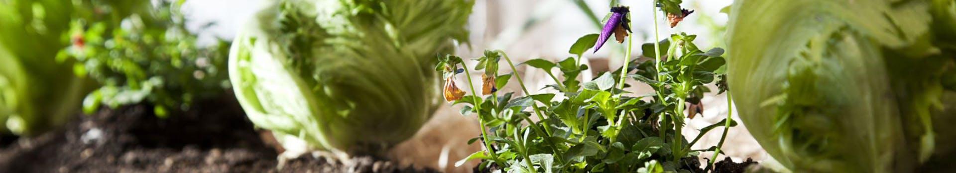 Verdure nell'orto