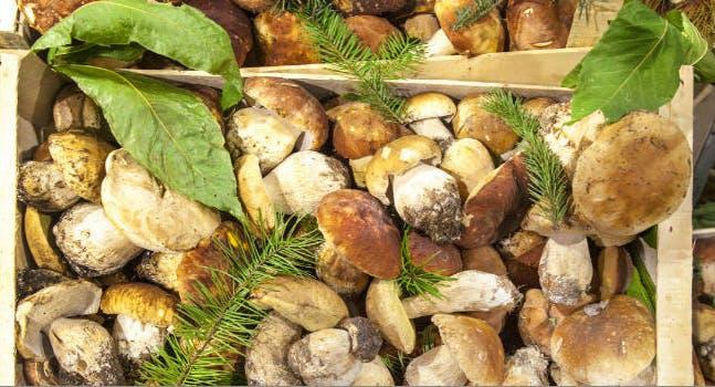 Dove trovare e come raccogliere i funghi