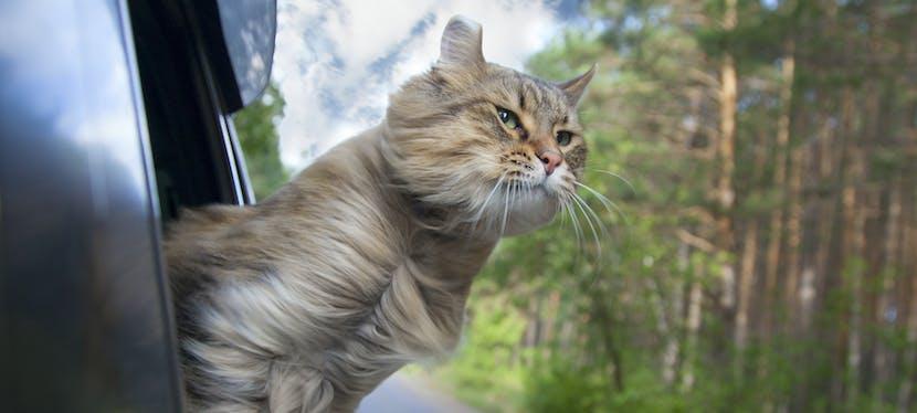 Un chat qui sort sa tête de la voiture