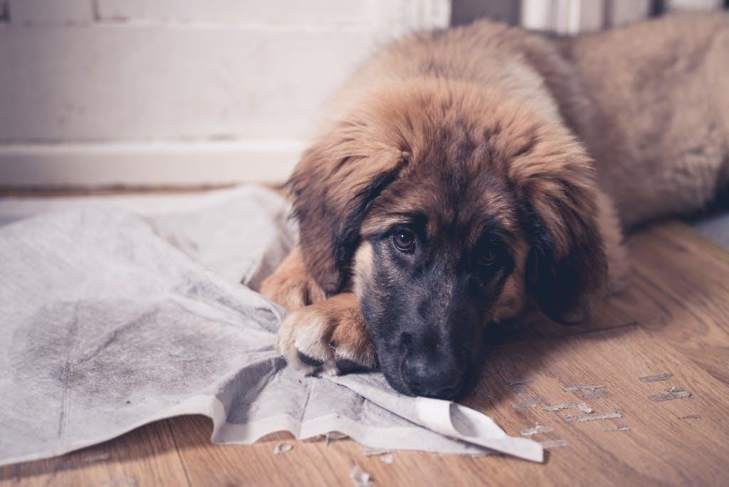 Incontinenza urinaria nel cane: ecco i sintomi e i rimedi.