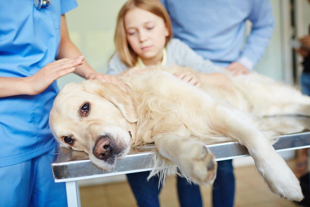 Parvovirosi canina, quali sono i sintomi e quando consultare il veterinario?