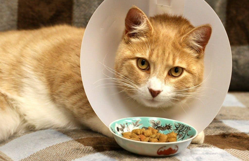 Sterilizzare la gatta: cosa succede al suo corpo e come alimentarla